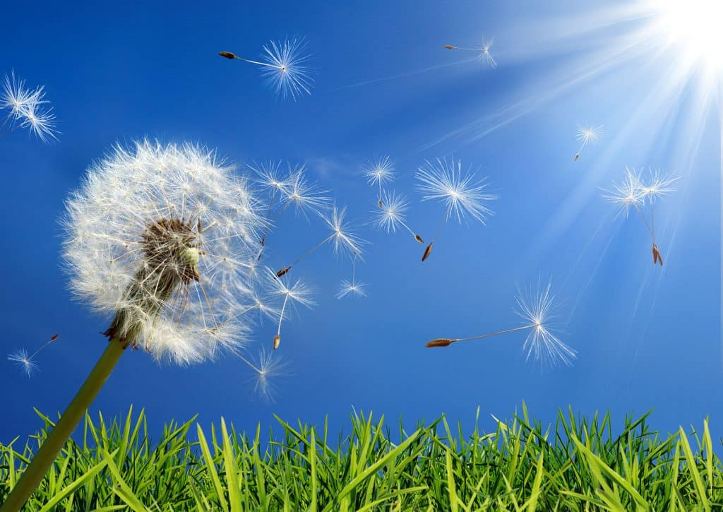 a dandelion blows in the wind, spreads allergies